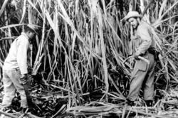 Der Che (rechts) beim Arbeitseinsatz in der Zuckerernte